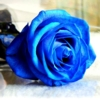 cujoy: (Blue Rose)