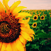 cujoy: (Sunflowers)