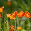 limone1: poppies in a field (poppies)