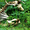 tanzelt: A clean deer skeleton, complete with antlers, lays against a small evergreen tree, surrounded by other plants. (deer hug tree)