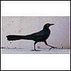 anitabuchan: Blackbird (blackbird)