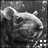 ratcatchers: (rat)
