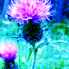 selannia: (Nature Thistle)