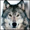 innerslytherin: (wolf)