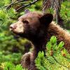 goosemods: (Black Bear.)