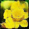 eunice: (daffodils2)