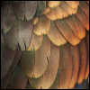 forthwritten: Wing feathers of a Bronze-Wing Pionus parrot. The colours are shades of bronze and brown, with some dark green hues (feathers)