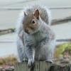 fenikso: (squirrel)