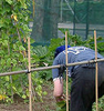 juliet: Me weeding the allotment, with the tomato supports and the beantrellis (allotment weeding)