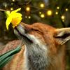 earthspirits: (spring fox)