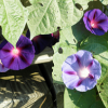 essayofthoughts: Purple Morning Glories and Green Leaves. (Default)