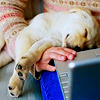 talibusorabat: A yellow lab puppy asleep in a woman's lap by her keyboard (Dogs: Asleep at the keyboard)