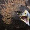 eagleoftheninth: (Golden eagle)