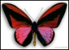 yonkyu: butterfly (butterfly)