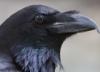 lady_algiz: (Raven)
