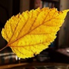 maccadole: (yellow leaf)