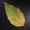 maccadole: (faded leaf)