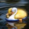 majestic_duxk: (floating duck)