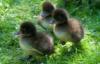 majestic_duxk: (duckling gang)