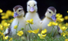 majestic_duxk: (nature walk ducks)