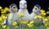 majestic_duxk: (nature walk ducks)