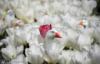majestic_duxk: (floral ducks)
