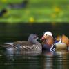 majestic_duxk: (meeting ducks)