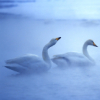 majestic_duxk: (misty ducks)