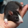 ancientreader: black and white pet rat (Default)