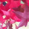 empat: (Red leaves)
