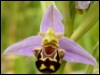zyrya: (nature - viking duck bee)