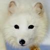 pyesetz: (arctic-fox)