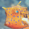 aquascum: (cowfish)
