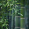 gatita_shu: (bamboo)