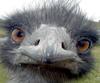 goddess47: Emu! (Default)