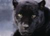massaraksh10: (Panthera)