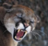 kayshapero: Snarling mountain lion (Angry Puma)