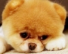 noblescientist: (sad, pomeranian, Boo the Pom)
