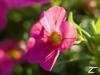 melagee: (flower)