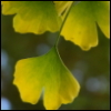 ironymaiden: (ginkgo, fall)