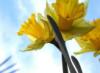 toto_too514: (Daffodil)