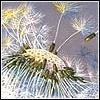 centauress: (dandelion)