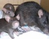 juliet: Grown-up Bramble rat with baby Ash and Rowan rats (ash bramble rowan)