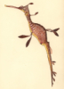 dragonsea: drawing of a seadragon a relative of the seahorse (seadragon)
