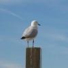 megadest: (Seagull)