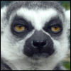angelicmobster8: (lemur)