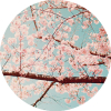 coffee_flowers: (kirschblüten)