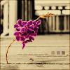 mi_guida: (solitary lavender, courtyard)