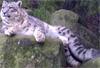 inanna: (snow leopard)