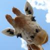 seminarist: (жираф)